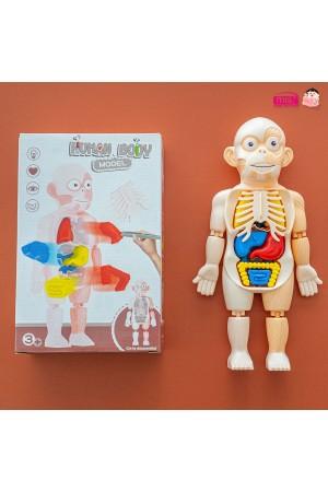 โมเดลจำลองร่างมนุษย์ Human Body Model